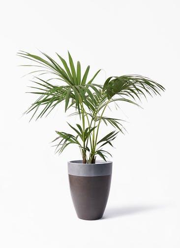 観葉植物 ケンチャヤシ 8号 ファイバーストーン カプリ マッドブラウン 付き