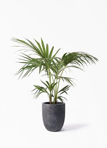 観葉植物 ケンチャヤシ 8号 フォリオアルトエッグ ブラックウォッシュ 付き