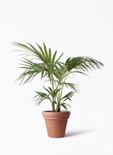 観葉植物 ケンチャヤシ 8号 トスカーナ リムポット 付き