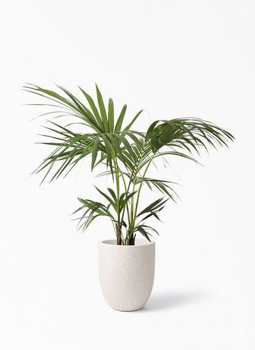 観葉植物 ケンチャヤシ 8号 フォリオアルトエッグ クリーム 付き
