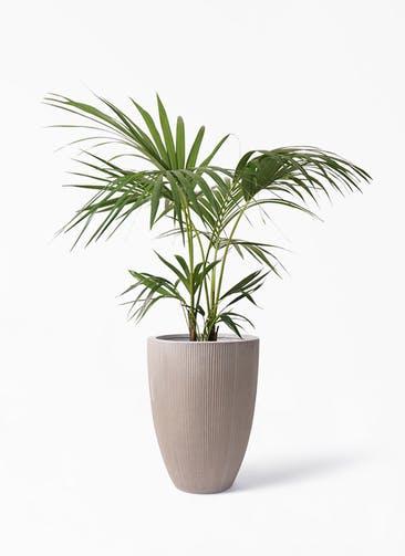 観葉植物 ケンチャヤシ 8号 リブラ モノ ブラウン 付き