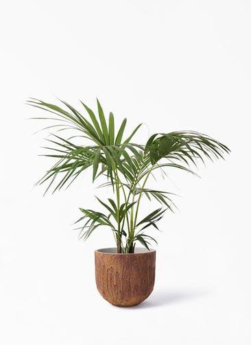 観葉植物 ケンチャヤシ 8号 バル ユーポット ラスティ  付き