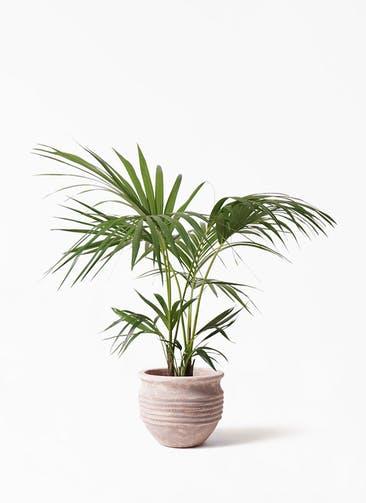 観葉植物 ケンチャヤシ 8号 テラアストラ リゲル 赤茶色 付き