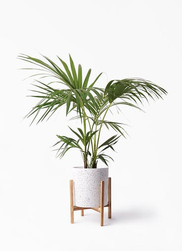 観葉植物 ケンチャヤシ 8号 ホルスト シリンダー スパークルホワイト ウッドポットスタンド 付き