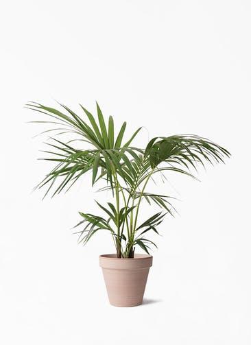 観葉植物 ケンチャヤシ 8号 スタンダルド アリーナ 付き