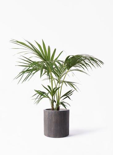 観葉植物 ケンチャヤシ 8号 アルファ シリンダープランター ウッド 付き