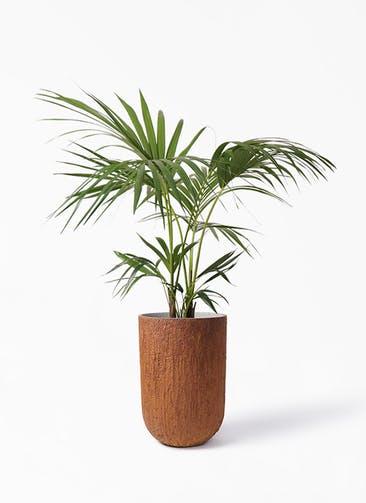 観葉植物 ケンチャヤシ 8号 バル トール ラスティ 付き