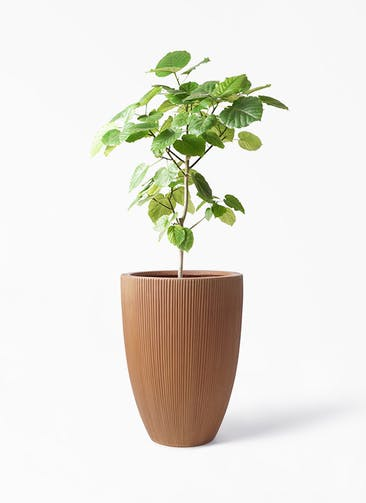 観葉植物 フィカス ウンベラータ 8号 ノーマル リブラ モノ ラスティ 付き
