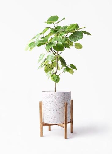 観葉植物 フィカス ウンベラータ 8号 ノーマル ホルスト シリンダー スパークルホワイト ウッドポットスタンド 付き