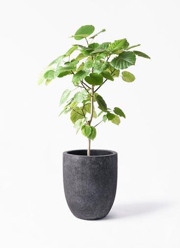 観葉植物 フィカス ウンベラータ 8号 ノーマル フォリオアルトエッグ ブラックウォッシュ 付き
