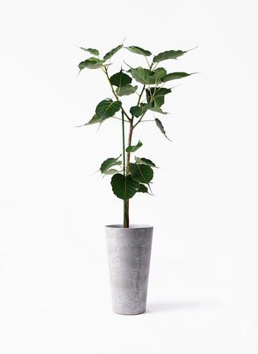 観葉植物 インドボダイジュ 8号 アートストーン トールラウンド グレー 付き