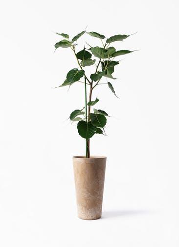 観葉植物 インドボダイジュ 8号 アートストーン トールラウンド ベージュ 付き
