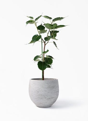 観葉植物 インドボダイジュ 8号 アディラボウル グレイウォッシュ 付き