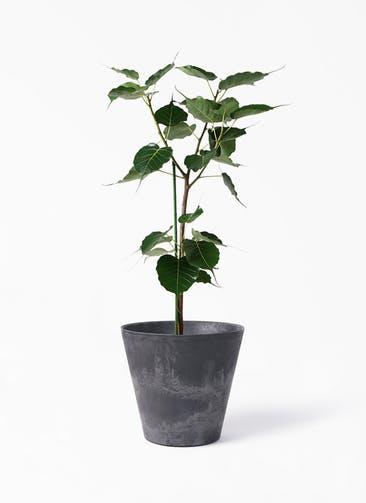 観葉植物 インドボダイジュ 8号 アートストーン ラウンド ブラック 付き