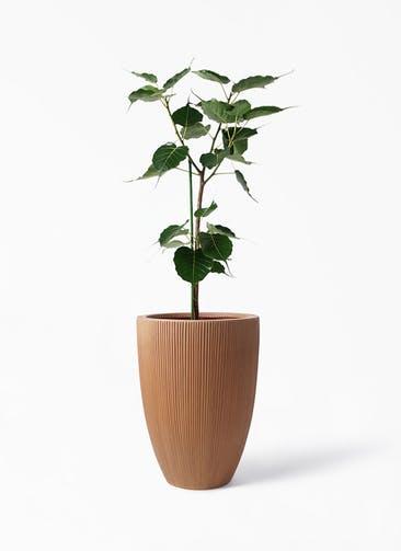 観葉植物 インドボダイジュ 8号 リブラ モノ ラスティ 付き