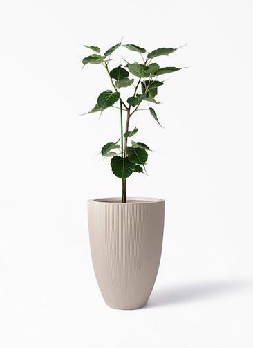 観葉植物 インドボダイジュ 8号 リブラ モノ ベージュ 付き