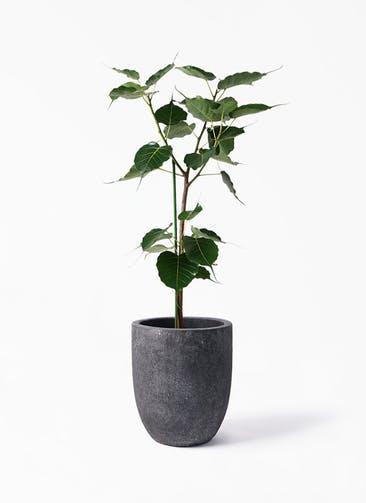 観葉植物 インドボダイジュ 8号 フォリオアルトエッグ ブラックウォッシュ 付き