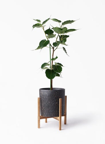 観葉植物 インドボダイジュ 8号 ホルスト シリンダー スパークルブラック ウッドポットスタンド 付き