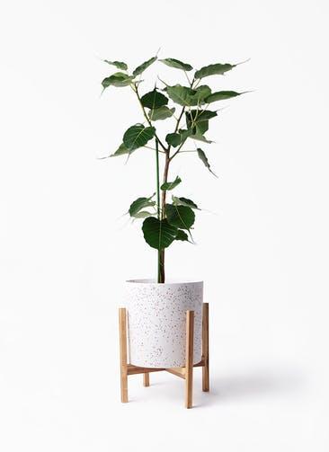 観葉植物 インドボダイジュ 8号 ホルスト シリンダー スパークルホワイト ウッドポットスタンド 付き