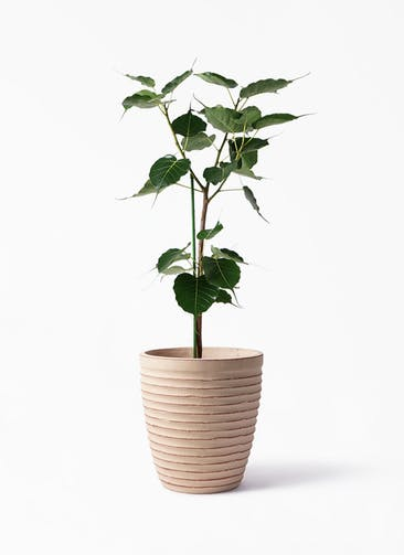 観葉植物 インドボダイジュ 8号 ウィスク 975 付き