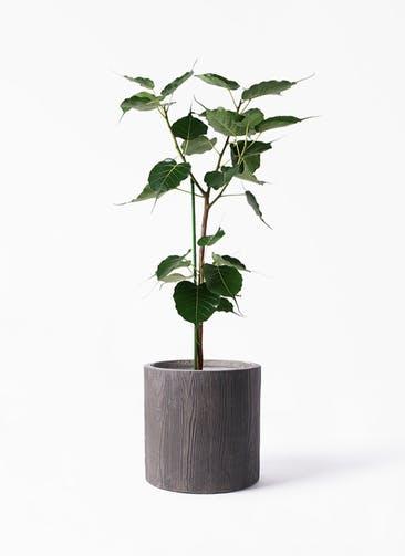 観葉植物 インドボダイジュ 8号 アルファ シリンダープランター ウッド 付き