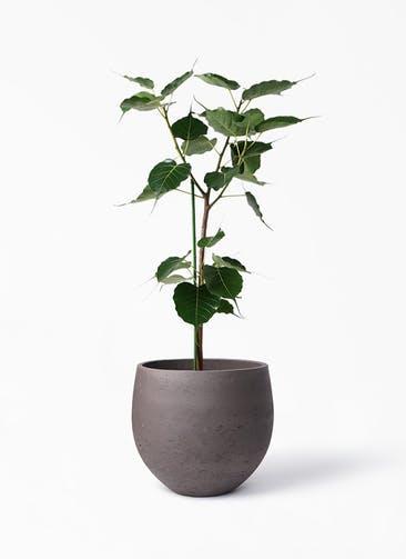 観葉植物 インドボダイジュ 8号 アディラボウル 濃茶 付き