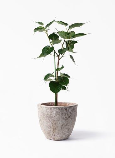観葉植物 インドボダイジュ 8号 アビスソニア ラウンド 付き