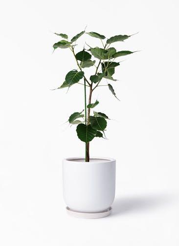 観葉植物 インドボダイジュ 8号 アファール 白 付き