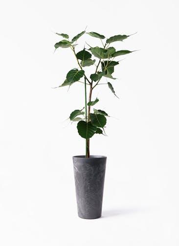 観葉植物 インドボダイジュ 8号 アートストーン トールラウンド ブラック 付き