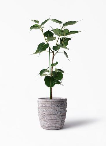 観葉植物 インドボダイジュ 8号 凛(りん)ラージS  付き