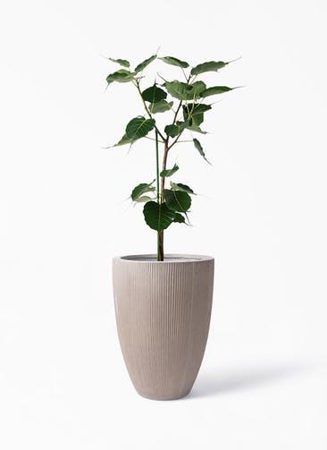 観葉植物 インドボダイジュ 8号 リブラ モノ ブラウン 付き