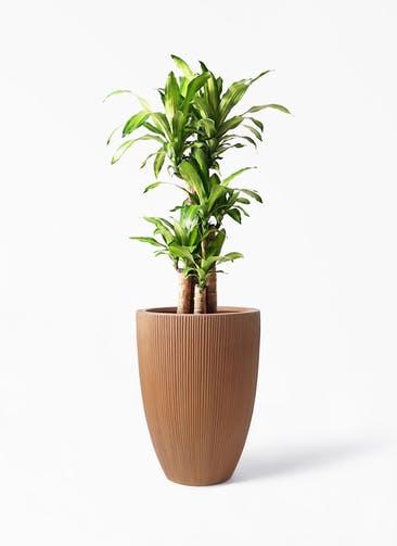 観葉植物 ドラセナ 幸福の木 8号 ノーマル リブラ モノ ラスティ 付き