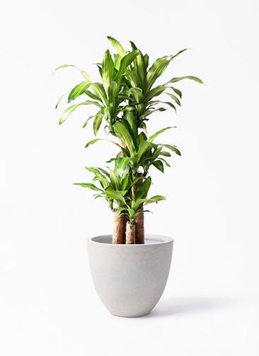 観葉植物 ドラセナ 幸福の木 8号 ノーマル スタウト アッシュラウンド 付き