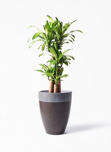 観葉植物 ドラセナ 幸福の木 8号 ノーマル ファイバーストーン カプリ マッドブラウン 付き