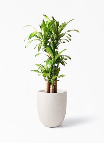 観葉植物 ドラセナ 幸福の木 8号 ノーマル フォリオアルトエッグ クリーム 付き