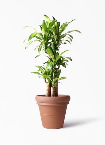 観葉植物 ドラセナ 幸福の木 8号 ノーマル トスカーナ リムポット 付き