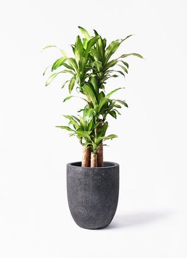 観葉植物 ドラセナ 幸福の木 8号 ノーマル フォリオアルトエッグ ブラックウォッシュ 付き