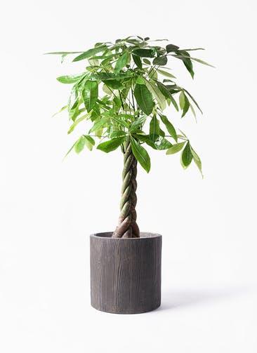 観葉植物 パキラ 8号 ねじり アルファ シリンダープランター ウッド 付き