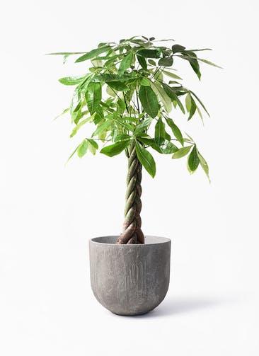 観葉植物 パキラ 8号 ねじり バル ユーポット アンティークセメント 付き