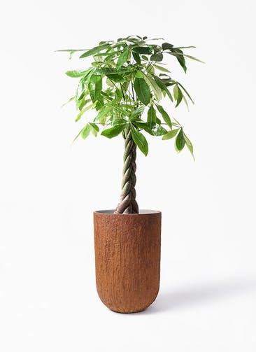 観葉植物 パキラ 8号 ねじり バル トール ラスティ 付き