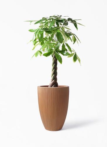 観葉植物 パキラ 8号 ねじり リブラ モノ ラスティ 付き