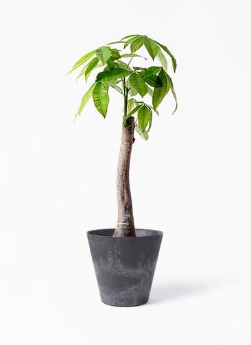観葉植物 パキラ 8号 朴 アートストーン ラウンド ブラック 付き
