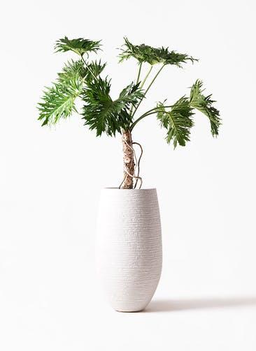 観葉植物 セローム ヒトデカズラ 8号 根あがり フォンティーヌトール 白 付き