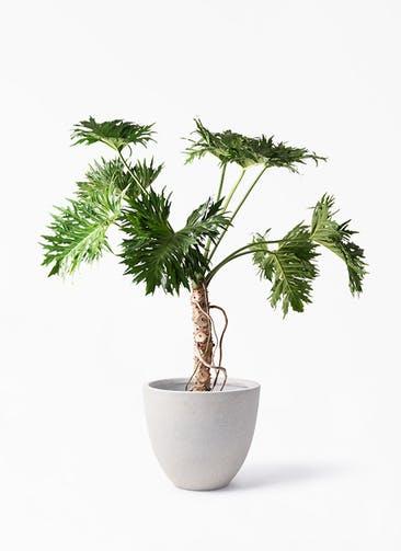 観葉植物 セローム ヒトデカズラ 8号 根あがり スタウト アッシュラウンド 付き