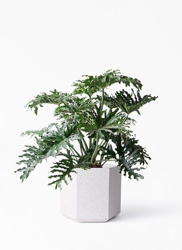 観葉植物 セローム ヒトデカズラ 8号 ボサ造り コーテス ヘックス ホワイトテラゾ 付き