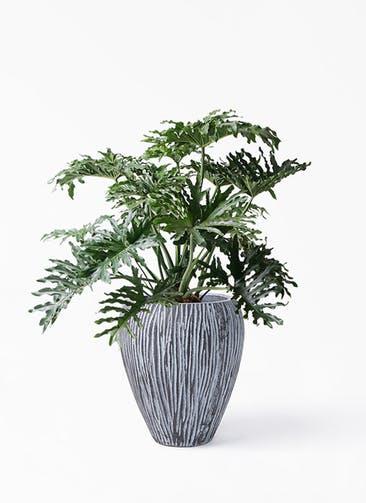 観葉植物 セローム ヒトデカズラ 8号 ボサ造り コーテス ジャー チゼル 付き