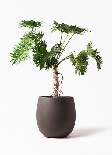観葉植物 セローム ヒトデカズラ 8号 根あがり テラニアス バルーン アンティーク ブラウン 付き