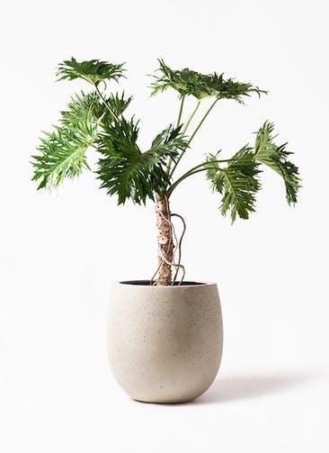観葉植物 セローム ヒトデカズラ 8号 根あがり テラニアス バルーン アンティーク ホワイト 付き