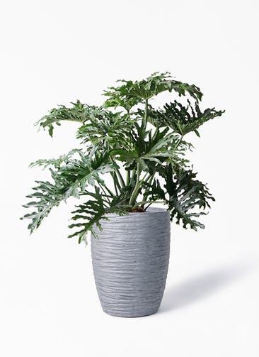 観葉植物 セローム ヒトデカズラ 8号 ボサ造り サン ミドル リッジ 灰  付き