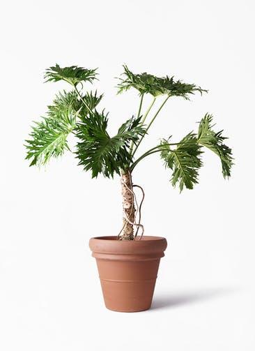 観葉植物 セローム ヒトデカズラ 8号 根あがり トスカーナ リムポット 付き